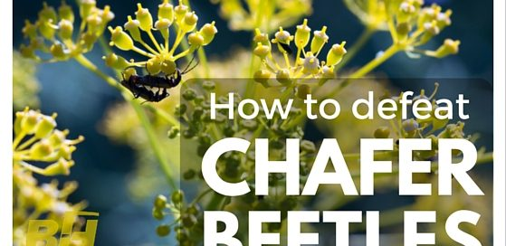 How to defeat Chafer Beetles